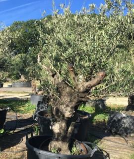 olivier N