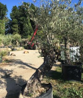 olivier S
