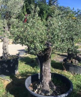 olivier U