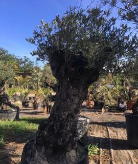 olivier V