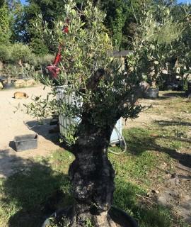 olivier G2