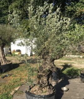 olivier H2