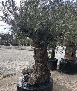 olivier 131