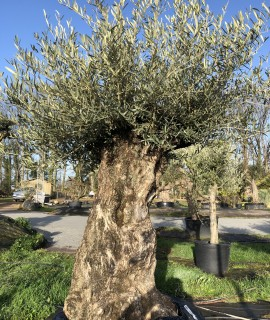 olivier 130