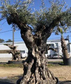 oliviers centenaires brest