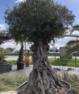 olivier multicentenaire la baule