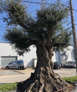 olivier bien charpenté