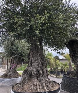 olivier spécimen