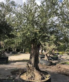 olivier 0007