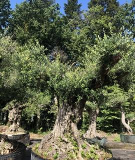 oliviers tri-centenaires