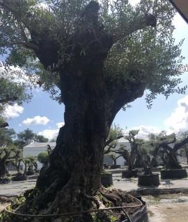 olivier ile et vilaine bel envergure