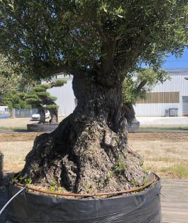 olivier multi-centenaires Saint-malo