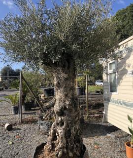 olivier tronc haut