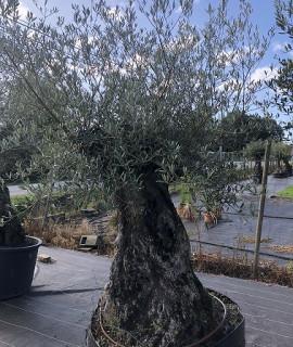 olivier 128