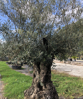 olivier 210