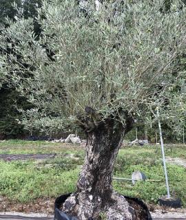 olivier 218