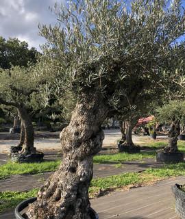 olivier 236
